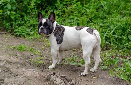french bulldog: Dog, French bulldog sits on a grass