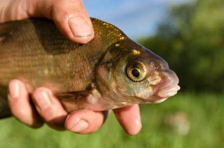 bream: Bream caught on bait fisherman shows catch