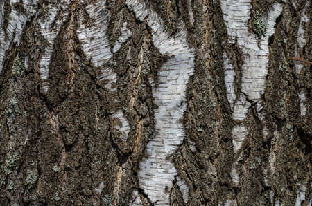 for designers: Structure, the trunk of a birch and its bark background for designers to create beautiful compositions