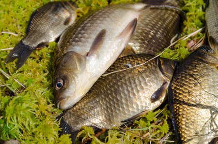 grass carp: Crucians lie on the beach caught in a spring day