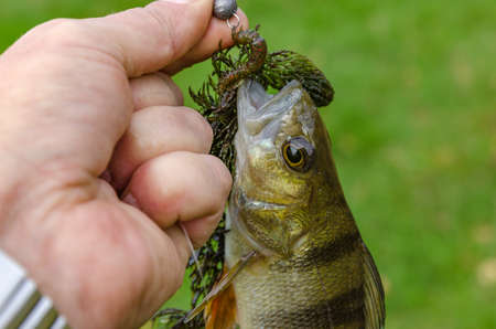 Perch caught on spinning in the hands of the angler Stock Photo