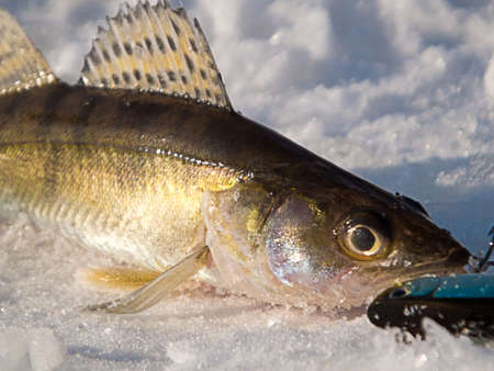 Pike perch on ice