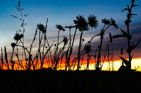 Silhouette of wildflowers at sunset