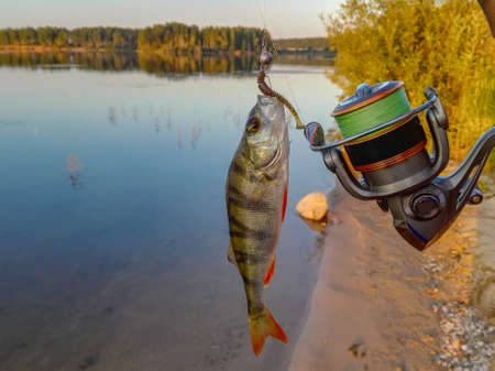 Fish perch on the hook Stock Photo