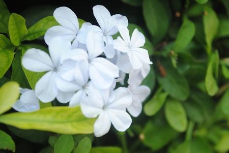 hojas: Flores Blancas
