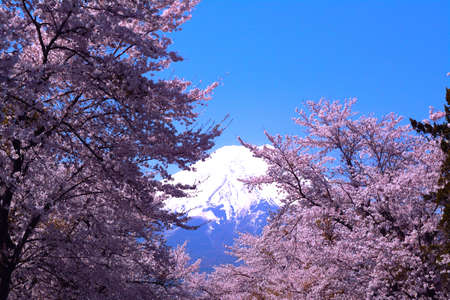 Mount Fuji wrapped in cherry blossoms