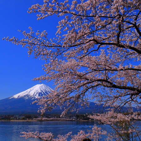 Cherry blossoms and Fuji 免版税图像