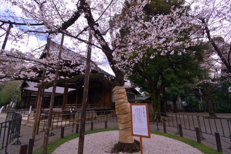 Sample tree Cherry Blossoms of Yasukuni at the Shrine Tokyo Japan 03 / 23 / 2018