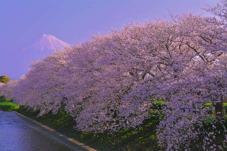 03 / 28 / 2018 Japan Fuji City River Urui cherry blossoms in full bloom in the morning at