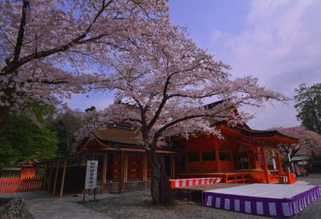 At the Cherry Blossoms of Shrine