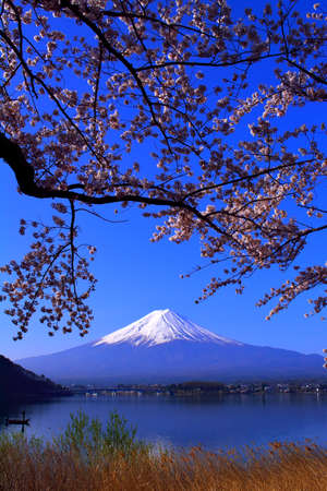 Cherry blossoms and Mt. Fuji in blue sky from the northern coast of Lake Kawaguchi Japan