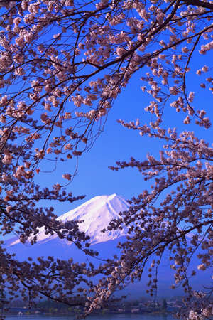 Cherry blossoms in blue sky and Mt. Fuji from Lake Kawaguchi Japan 04 / 10 / 2018 免版税图像
