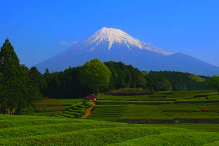 Japanese Tea Field and Mt.Fuji