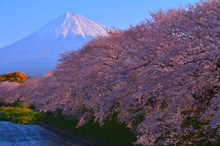 Cherry blossoms in full bloom and Mt. Fuji in Fuji City Japan 免版税图像