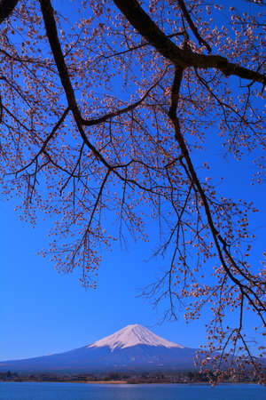 Cherry tree and Mt.Fuji of Nagasaki Park in Lake Kawaguchi Japan 免版税图像