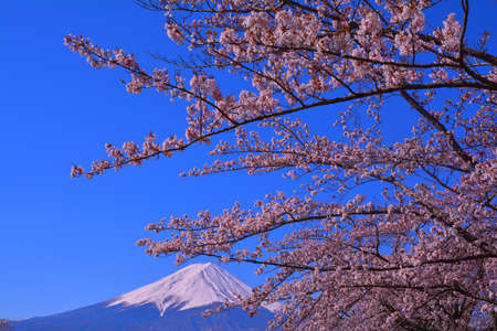 Cherry blossoms and Mt.Fuji of the clear blue sky from Lake Kawaguchi Japan