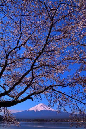 Cherry tree and Mt. Fuji of blue sky from Lake Kawaguchi Japan
