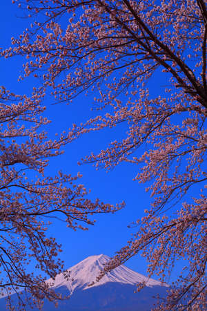 Cherry blossoms and Mt.Fuji of blue sky from Lake Kawaguchi Japan 免版税图像