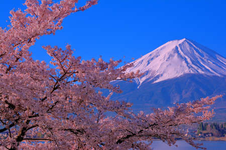 Cherry blossoms in full bloom blue sky and Mt.Fuji from Lake Kawaguchi Japan 免版税图像