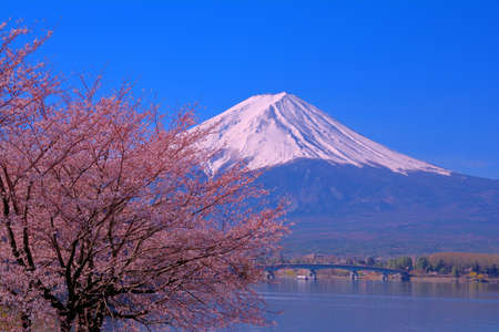 Cherry blossoms and Mt.Fuji with blue sky from North shore of Lake Kawaguchi Japan