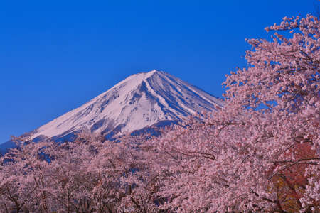 Cherry blossoms in full bloom and Mt.Fuji from Yagisaki Park in Lake Kawaguchi Japan