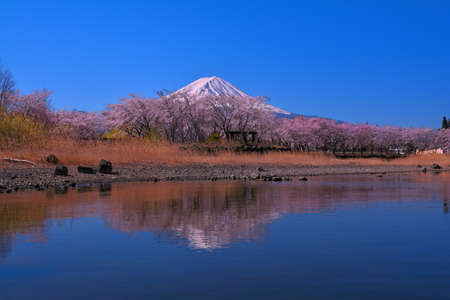 Mt. Fuji of cherry blossoms of Lake Yakisaki Park in Lake Kawaguchi Japan