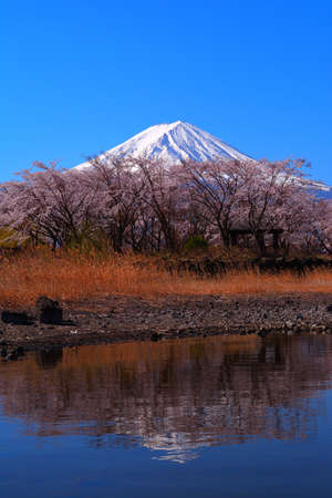 Cherry blossoms and Mt. Fuji of Yakisaki Park in Lake Kawaguchi Japan