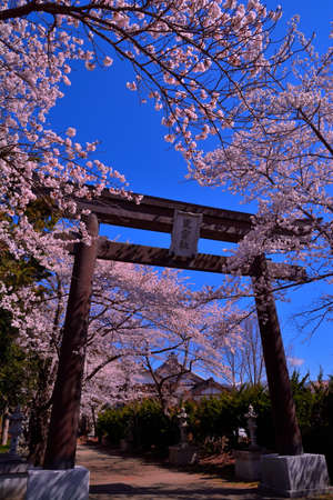 Cherry blossoms and Torii of Fuji Omuro Sengen at the Shrine of Lake Kawaguchi Japan 04 / 18 / 2019 新闻类图片
