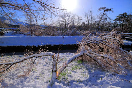 Cherry tree broken by the snow from Shinnasyo River in Oshino Village 04/14/2020