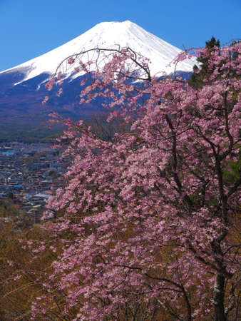 Cherry Blossoms and Mt.Fuji from Fujimi Kotoku Park in Fujiyoshida City Yamanashi Japan 04/19/2020