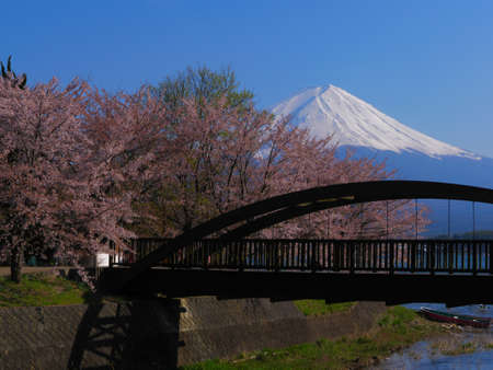 Bridge and cherry blossoms and Mt. Fuji on the north coast of Lake Kawaguchi Japan 04/25/2020