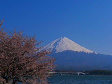 Cherry Blossoms and Mt.Fuji with blue sky from North shore of Lake Kawaguchi Japan 04/25/2020