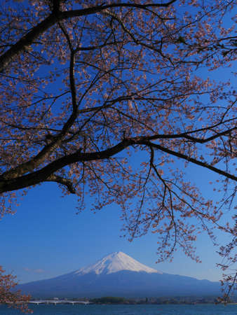 Mt. Fuji and cherry blossoms in the blue sky from Lake Kawaguchi Japan 04/25/2020
