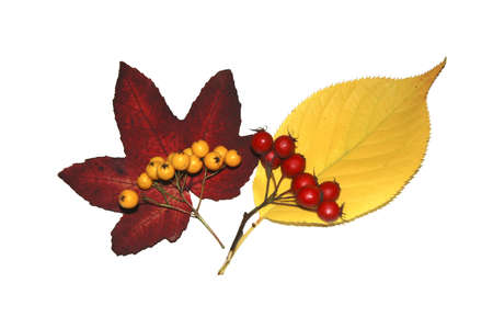 atrophy: Leaves and berries