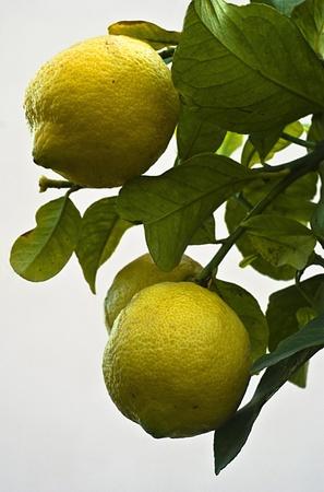 lemons on branch Stock Photo - 12477339