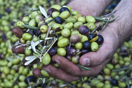 olio: These hands are checking the olive harvest.Olives picking in Sicily- Italy