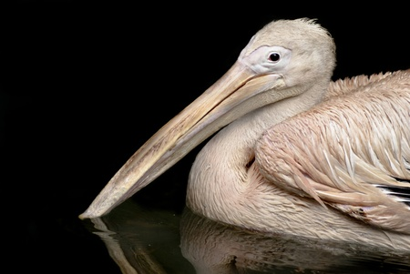 Portrait of a beautiful Rosy Pelican swimming in a lake