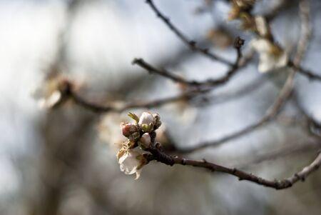 almond bud: almond bud on branch