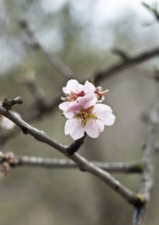 A closeup of an almond tree with white pink flowers with branches photo