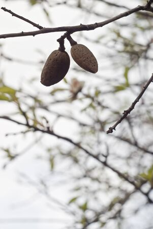 closeup of a branch of almond tree with fruits photo
