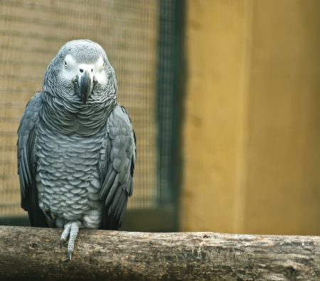 Grey parrot sitting on wood photo