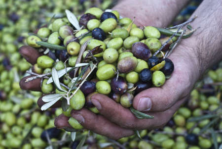 These hands are checking the olive harvest.Olives picking in Sicily- Italy photo