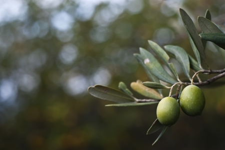 green olives on the tree. Selective Focus