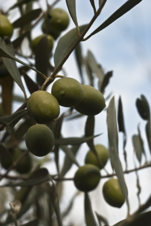 Sicilian green olives on the tree. Stock Photo - 14135851