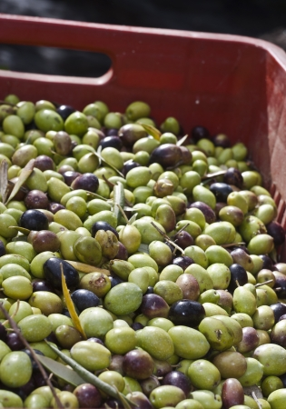 Olives in the box ready to grind Stock Photo - 14135949