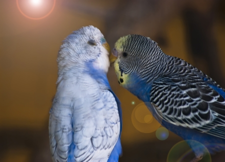 Sweet kiss of parrots in love