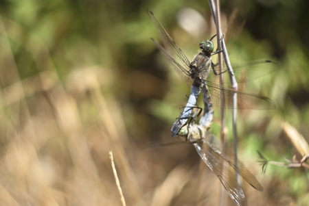 dragonfly mating in the natural park of nebrodi. sicily Stock Photo