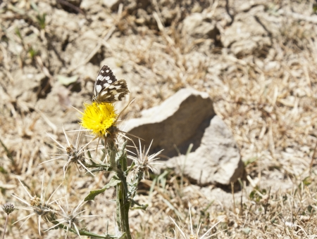 giant sunflower: Butterfly on a flower in sicilian countryside. Nebrodi mountains Stock Photo