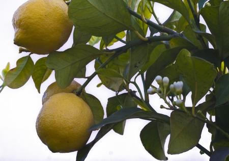 lemon s tree on branch Stock Photo - 16900578