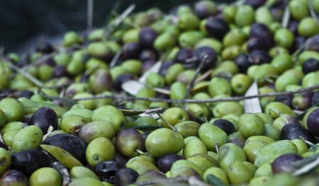 Freshly picked olives and leaves Stock Photo - 16986040